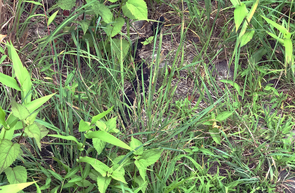 Eastern Timber Rattlesnake hiding in the grass. One of snakes seen on the Appalachian Trail.